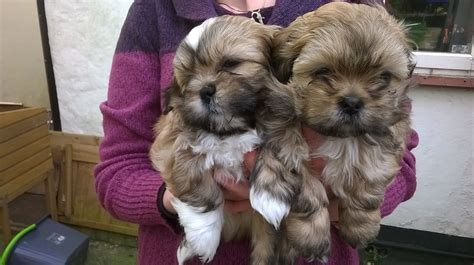 shih tzu x lhasa apso for sale shih tzu x lhasa apso pups for sale bournemouth dorset pets4homes