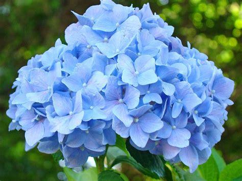 printable blue flowers blue hydrangea floral art print hydrangeas flowers baslee