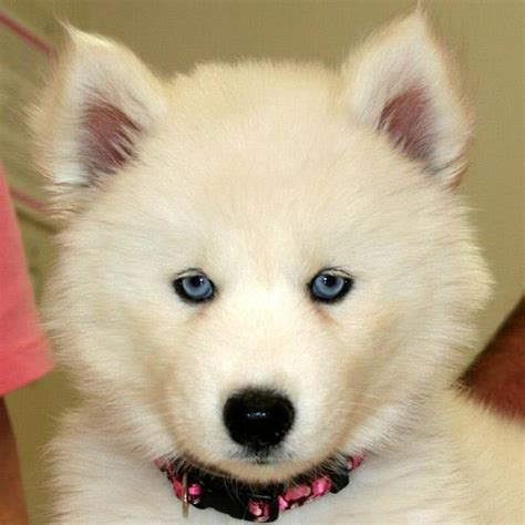 husky puppies with blue cool pets 4u husky puppies with blue
