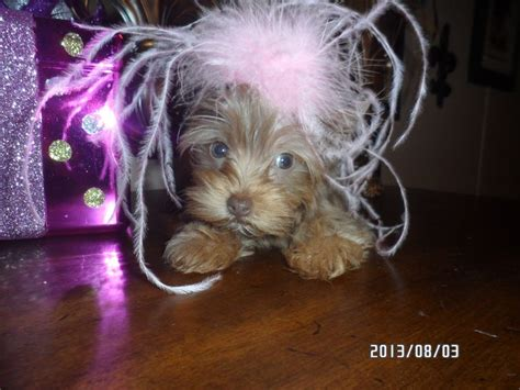 akc teacup yorkies rare chocolate with platinum blonde 17 best images about nancy s yorkies on pinterest