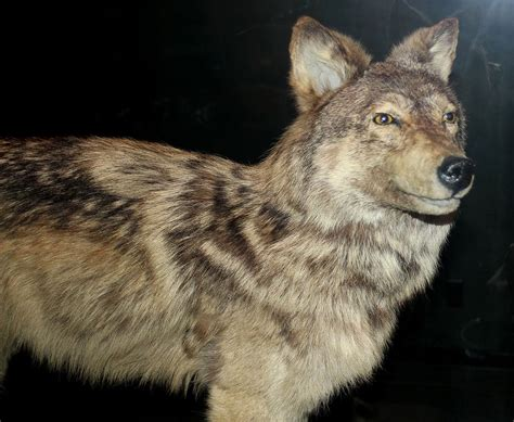 what is a wolf newfoundland wolf
