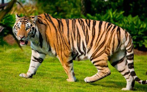imagenes artisticas de tigres fotos de tigres grandes im 225 genes y fotos