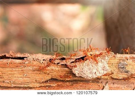 termites ants fighting termite  image photo bigstock