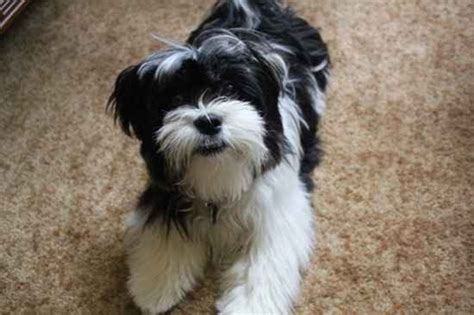 malshi dogs mal shi maltese x shih tzu mix temperament puppies pictures