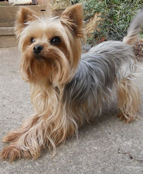 how to cut my silky terriers hair silky terriers look like teddy bears cuties it is cut