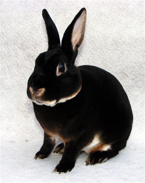 mini rex rabbit colors mini rex buck rabbit with black otter fur color bunnies
