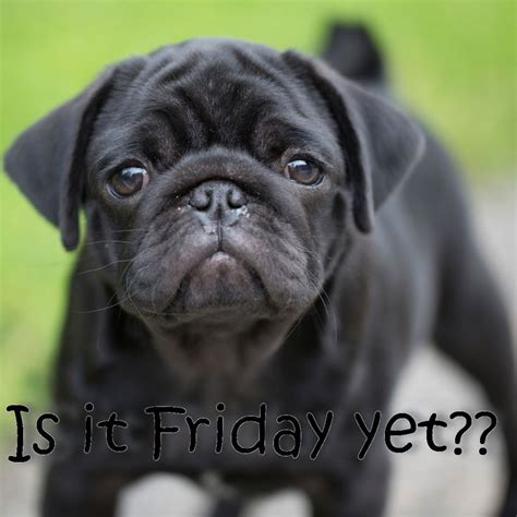 happy friday pug 82 best images about friday friday on inspiring sayings the weekend and