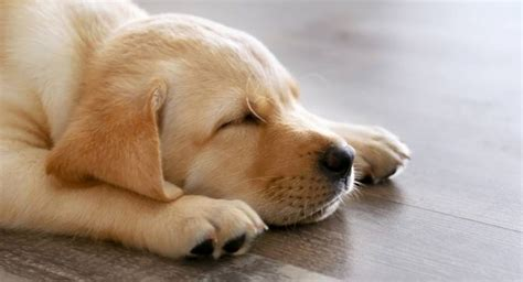 how many hours does a puppy sleep how do dogs sleep find out in this guide to canine sleeping habits