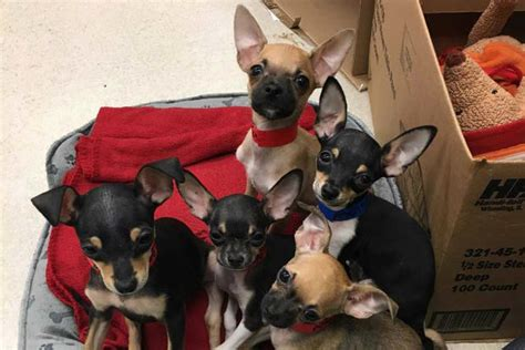 when can you take a puppy home puppy parade in streeterville 5 chihuahuas you can take home everyblock chicago