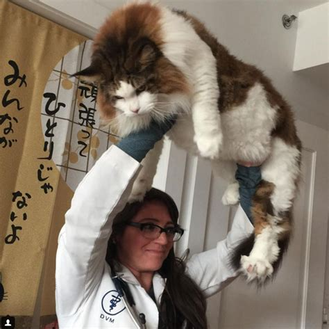 We love gigantic domestic cats especially Maine Coons and