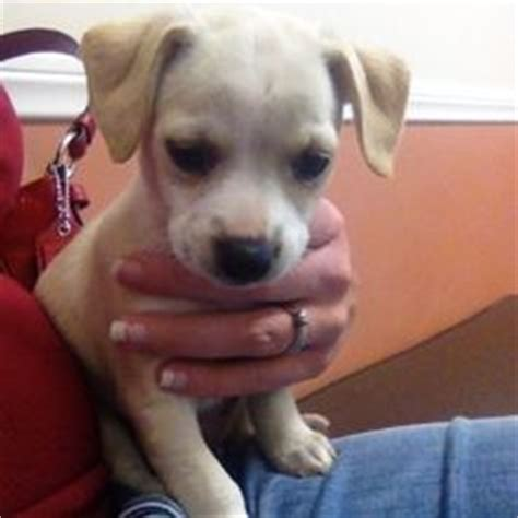 chipit puppies for sale pitbull chihuahua mix chihuahua mix and pitbull on