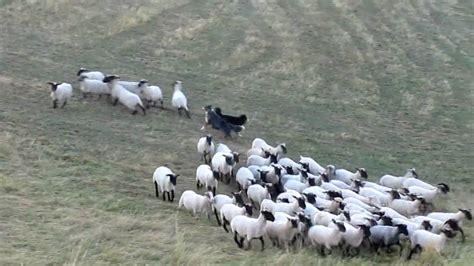 australian herding herding australian shepherd chaplin schafe h 252 ten 2