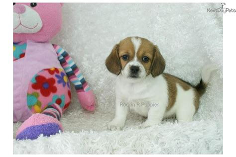 peagle puppies for sale puggle puppy for sale near springfield missouri 5286662a 4991