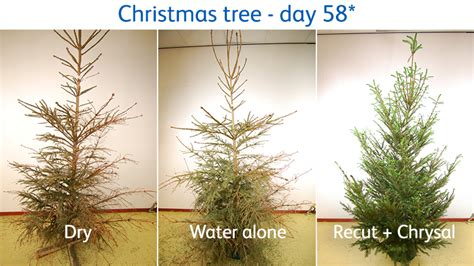how to keep your christmas tree in top shape chrysal