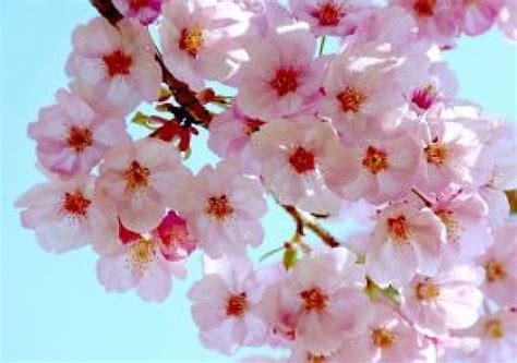 imagenes cerezo japones flores de cerezo japon 233 s descargar fotos gratis