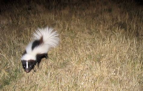 skunks digging can damage lawns colonial pest