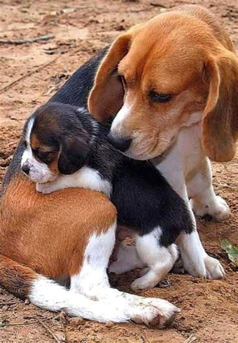 Do Beagle Puppies Shed by 12 Best Images About Beagles On Growing Up