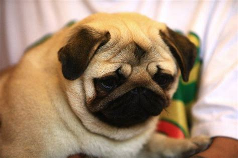 how much are pug pugpugpug how much and how often should i feed my pug
