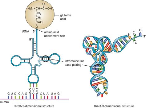 rna structure diagram structure and function of rna microbiology