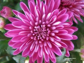 november flower 20 best images about november birth flowers on