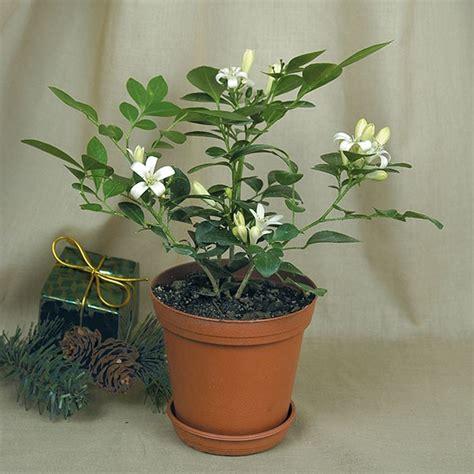 orange jasmine murraya paniculata