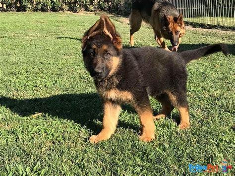 alimentazione pastore tedesco cucciolo splendidi cuccioli pastore tedesco con pedigree in vendita
