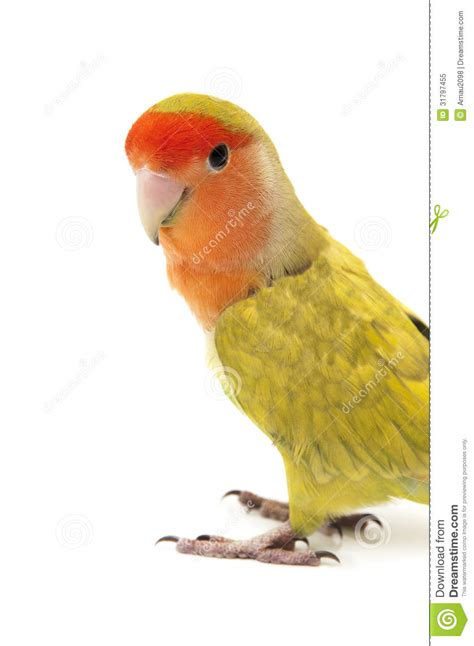 lovebird colors royalty free stock photo image 31797455