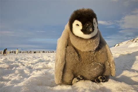 Geo Emperor Aftermarket world press photo emperor penguins paul nicklen awww happy amazing