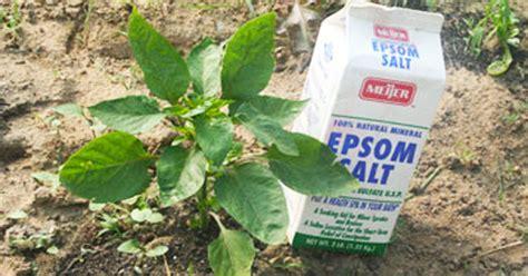 Epsom Salt For Gardening by Gardener Uses Epsom Salt In Ways That Never Crossed Mind The Tips Can Help Any Gardener