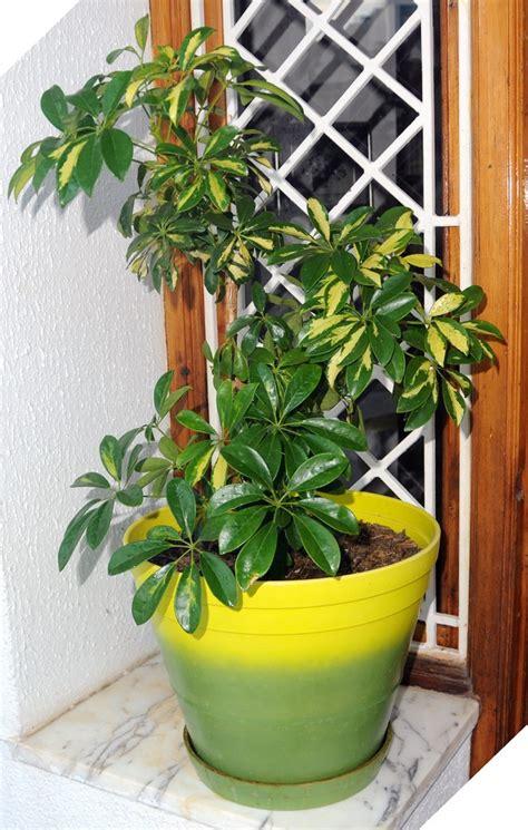 piante da interno sempreverdi growing schefflera tips for schefflera plant care