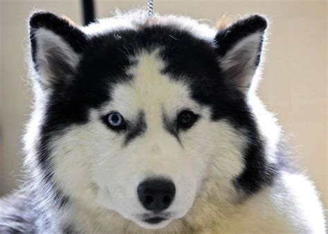 7 Facts On Huskies by 25 Best Ideas About Siberian Husky Facts On