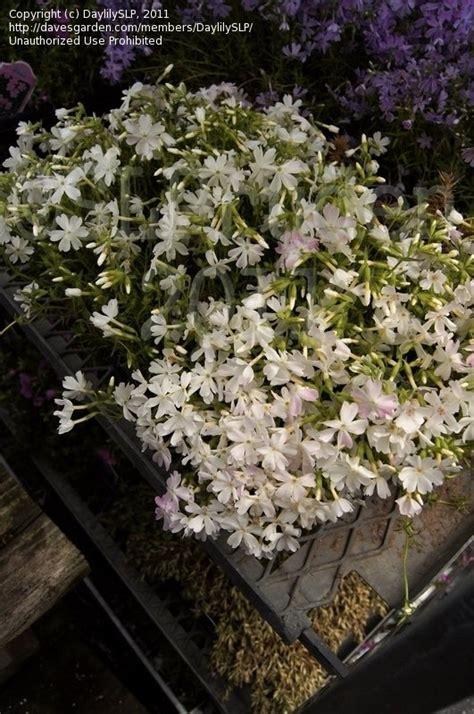 Gardens Dearborn by Plantfiles Pictures Creeping Phlox Moss Phlox Snowflake Phlox Subulata By Daylilyslp