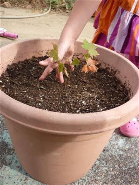 baby maple tree swistle