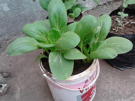 Bertanam Tomat Di Dalam Pot Dan Kebun Mini cara mudah menanam sayuran di pot atau polybag kelompok tani