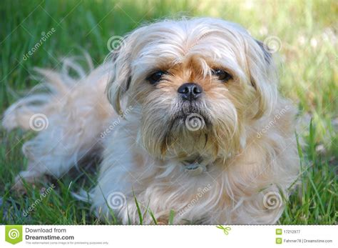 terrier and pug mix terrier and pug mix royalty free stock photography image 17212977