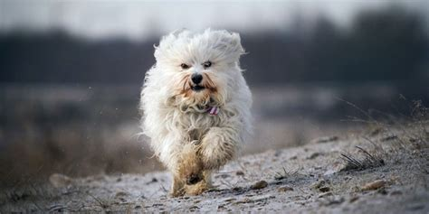 types of havanese havanese information characteristics facts names