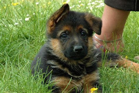 german shepherd puppies for sale will my german shepherd puppy be black and or black and brown hairs