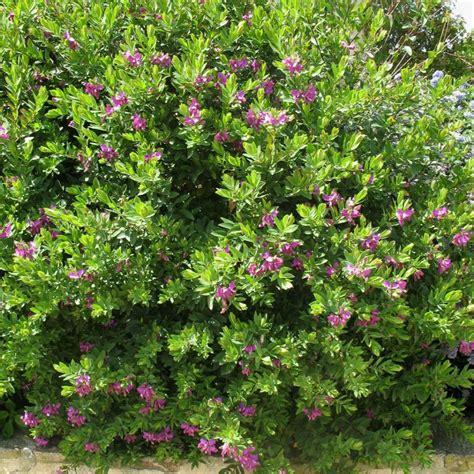 Fleurs Odorantes Pour Balcon by Polygala Myrtifolia Plantes Et Jardins