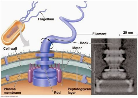 flagellar motor as many exceptions as bacteria are intelligent