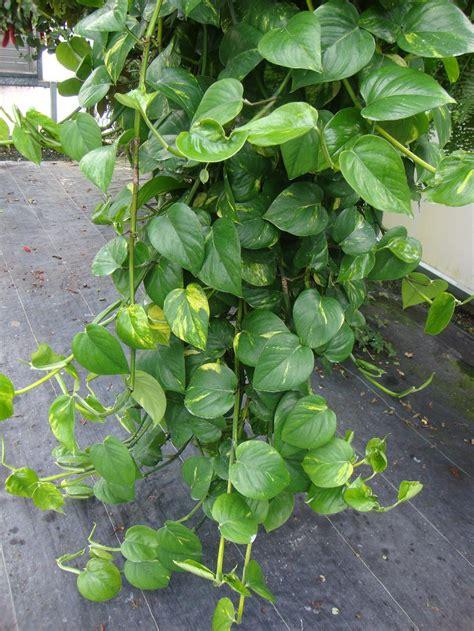 epipremnum aureum photo of the entire plant of pothos epipremnum aureum