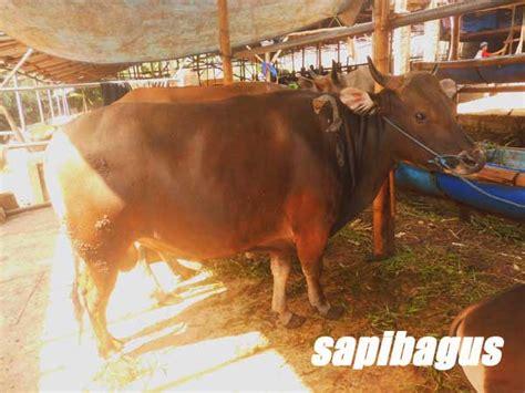 Bibit Sapi Di Bali berbagi pengalaman dengan peternak sapi di kabupaten bone