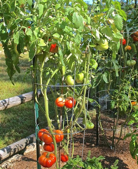 Sachriya Tomato Seeds   GreenMyLife   Anyone can Garden
