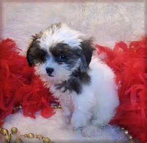 Poo shi puppies shih tzu poodle mix puppies black shih poo puppies for