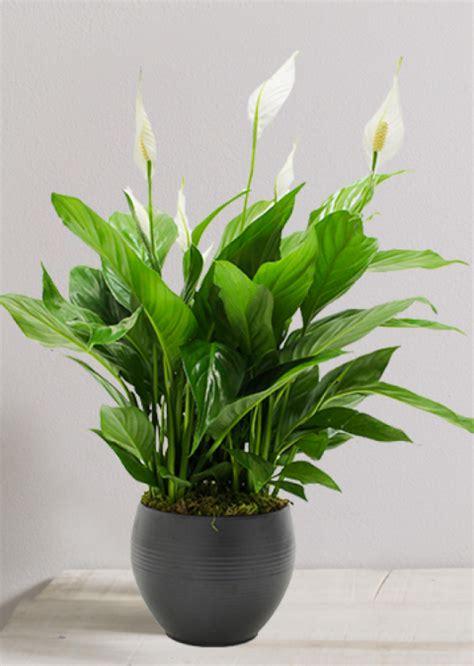 belles plantes depolluantes pour assainir lair