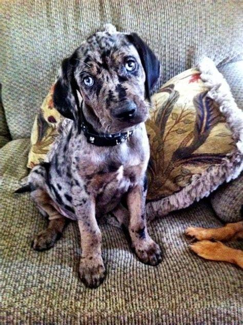 catahoula hound catahoula leopard hound animals i