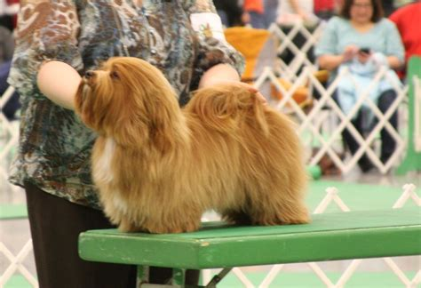 happy paws havanese vino happy paws havanese minnesota akc show breeder