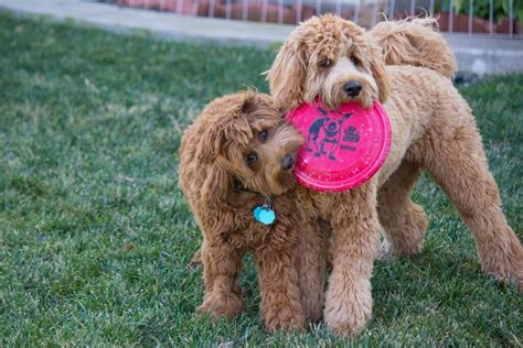 doodle rudy why we chose a labradoodle instead of a rescue