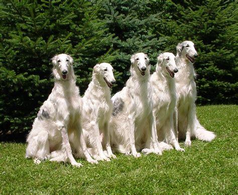 borzoi puppies white borzoi dogs photo and wallpaper beautiful white borzoi dogs pictures