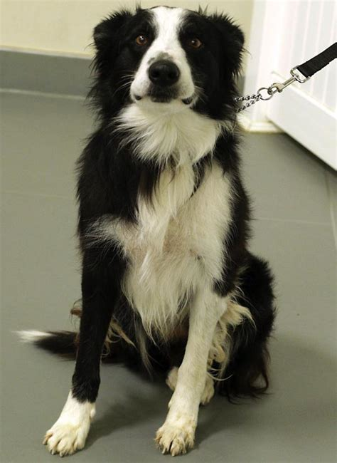border collie puppies southern california border collies in need of adoption in southern california
