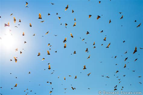 bat migration burrard lucas photography